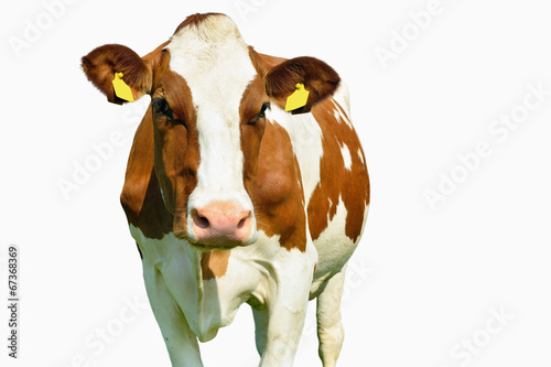 Poster Koe cow isolated on white