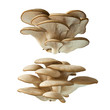 canvas print picture - Pleurotus ostreatus