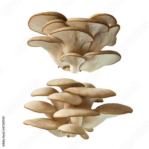 canvas print picture Pleurotus ostreatus
