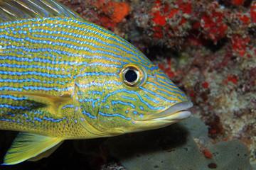 Bluestripe grunt fish