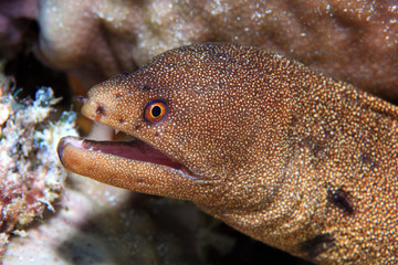 Goldentail moray eel