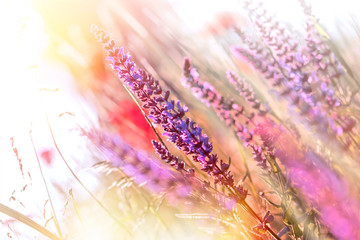 Purple meadow flowers illuminated with sun rays