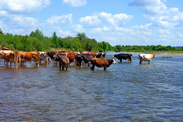 Cows on a watering place