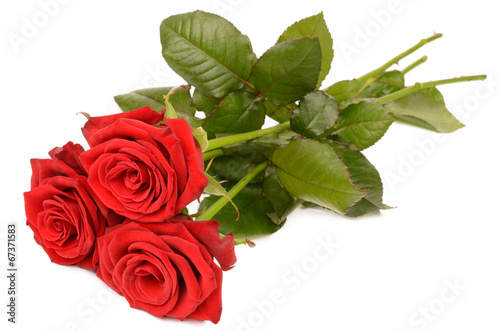 canvas print picture Red rose on a white background