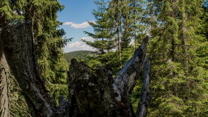 Stump in Boreal forrest time lapse 4K ultra