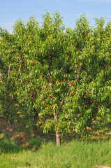 Prunus fruit tree