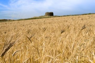 Campo di grano in Sardegna