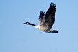 Canada Goose Flying in Blue Sky