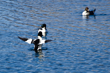 Common Goldeneye Duck With Wings Outstretched