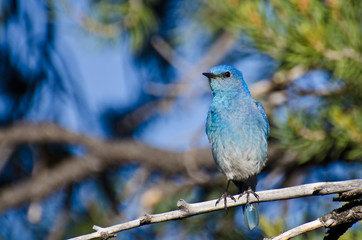 Mountain Bluebird Perched in a Tree