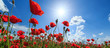 Field of wild red poppies on a sunny summer day - 67377920