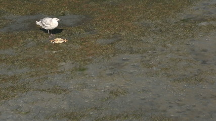 Seagull Eating Crab on the Beach
