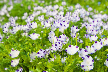 The flower garden of nemophila maculata