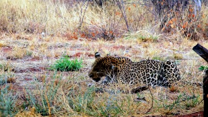 Male leopard feeding