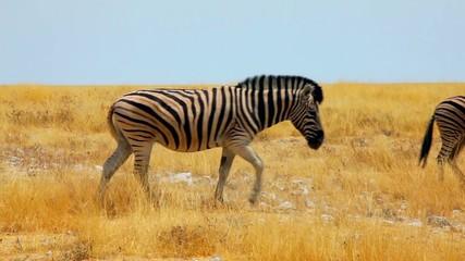 Zebra herd get to the plains