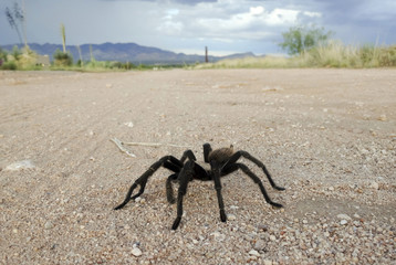 A Costa Rican, also known as Desert, Tarantula