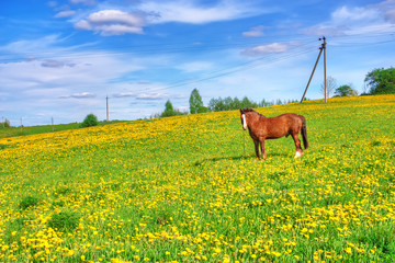 One horse grazes on meadow