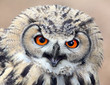 The evil eyes. Angry The Eagle Owl, Bubo bubo.