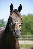 Headshot of a beautiful brown horse