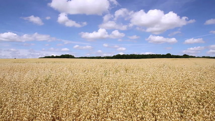 Oat field in anticipation of maturation (Denée, Belgium).