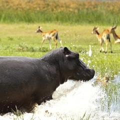 Hippo spritzt Wasser
