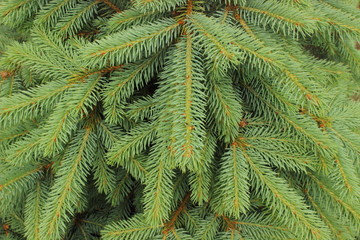 Branches of fir tree as background
