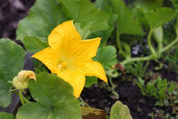 Yellow Pumpkin Blossom