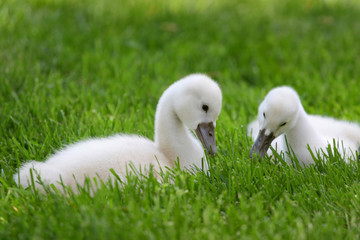 Two cute baby Swans