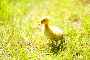 Little cute duckling on green grass, outdoors