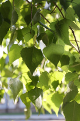 Green leaves on tree, outdoors