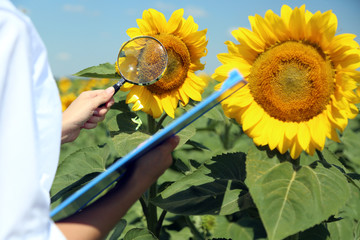 Agronomist with folder in sunflowers field