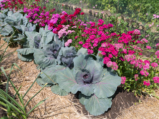 Cabbage plants with bright flowers