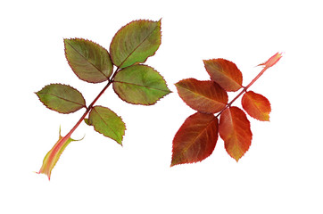 Green and red rose leaves