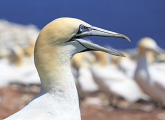 Colony of Northern Gannets, Bonaventure Island Quebec, Canada