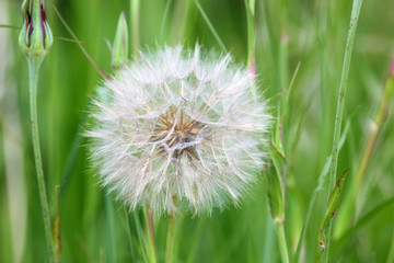 Closeup of dandelion flower