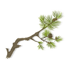 Branch mountain pine  whit pinecones vector illustration