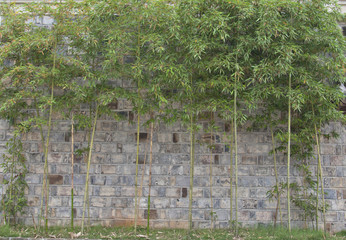 old brick wall and bamboo