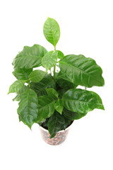 coffee plant isolated