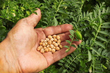 Ripe seeds of chickpea in the palm farmer