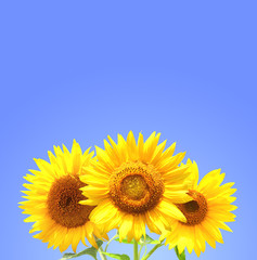 Three sunflowers