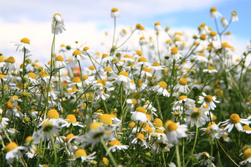 chamomile field and blue sky