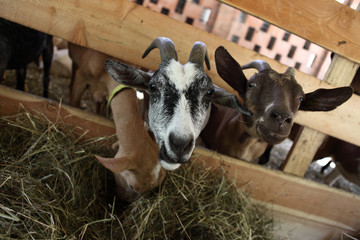 Goats eating hay on the farm