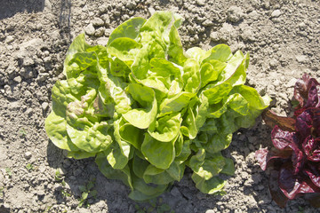 Fresh lettuce growing in a field