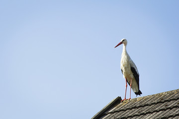 stork on the roof