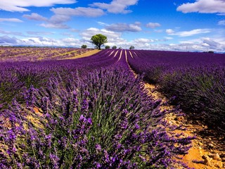 lavander in Provence France © beatrice prève