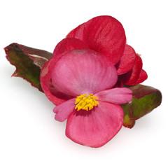 Begonie, Begonia, semperflorens, Balkonblumen,