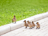 Ducklings walking on the road