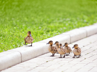 Ducklings walking on the road