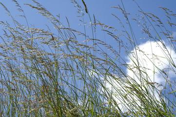 Wiesengraeser, Gras, Graeser,