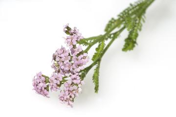 Schafgarbe; Achillea; millefolium;